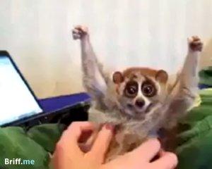 Petting Lemur