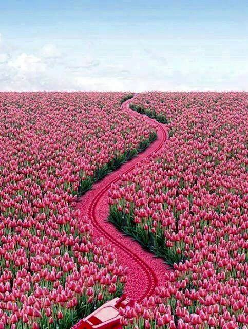 Pink Tulip Path