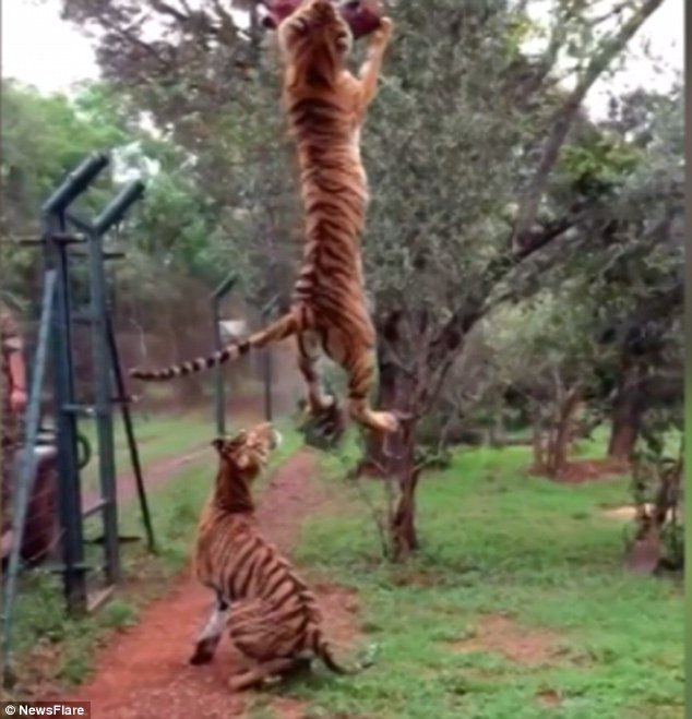 Tiger Jumps To Catch Meat Strong Trending Story