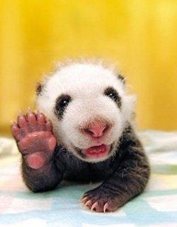 Animals Saying Goodbye 15 Baby Panda
