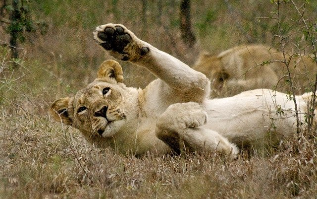 Animals Waving Goodbye 16 Lion