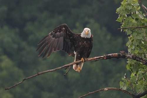 Animals Waving Bye 17 Eagle