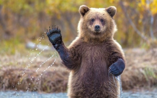 Animals Waving Goodbye 5 Bear