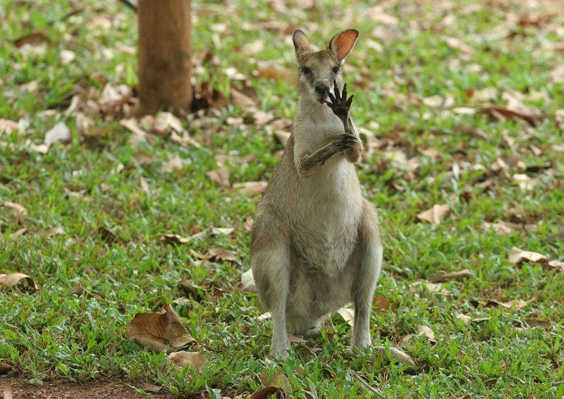 Animals Waving Goodbye 6 kangaroo