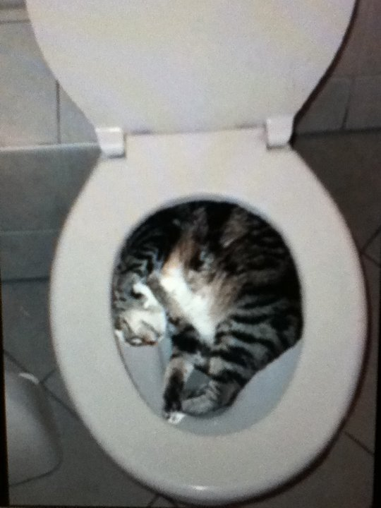 Cats Stuck Funny Photos 12 toilet