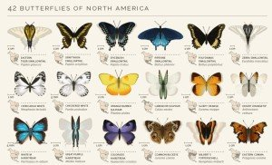 North American butterflies