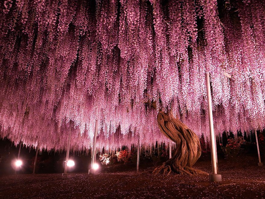 144-Year-Old Wisteria In Japan 2 Beautiful Trees