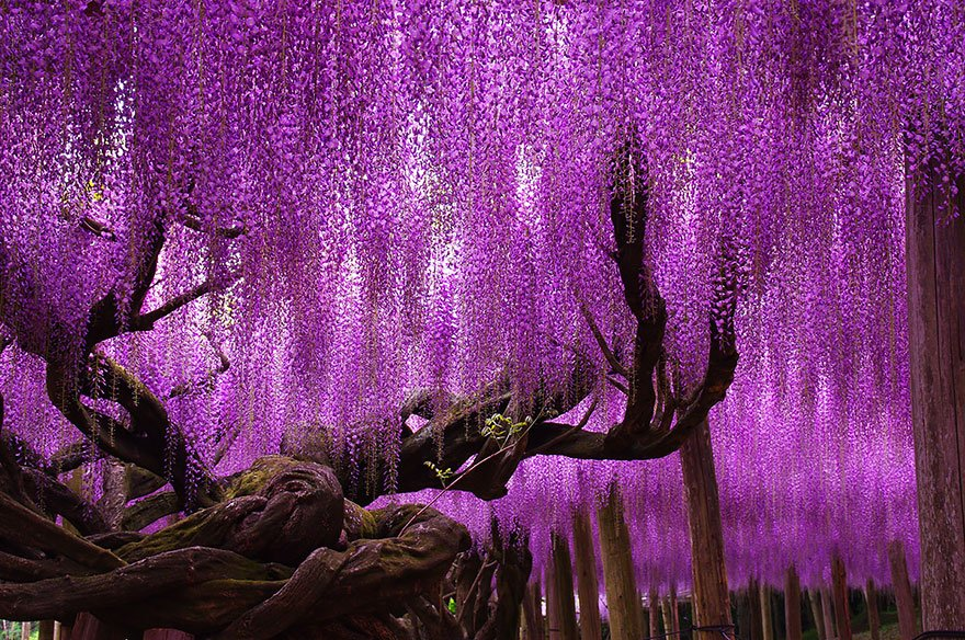 144-Year-Old Wisteria In Japan Beautiful Trees