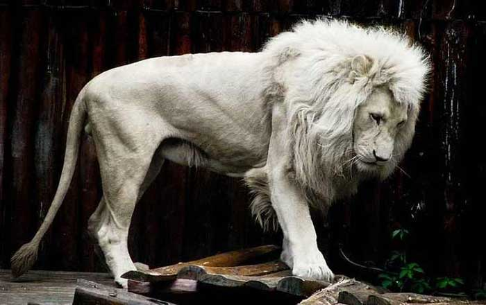 Albino Lion Rare Animals