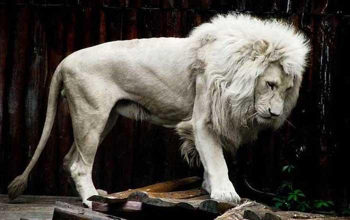 Albino Lion Rare Animals