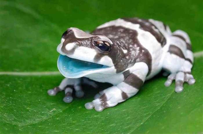 Amazon milk frog Rare Animal