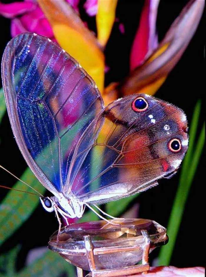 Amber phantom butterfly Rare Animal