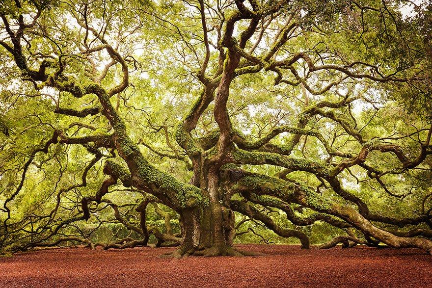 Angel Oak In John's Island In South Carolina Lovely Trees