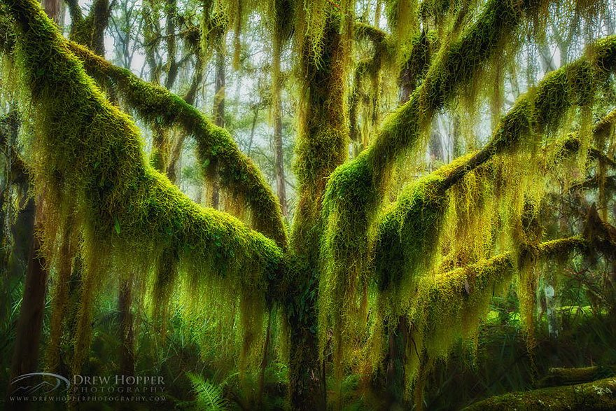 Antarctic Beech Draped In Hanging Moss In Oregon Lovely Trees