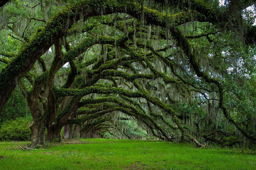 Avenue Of Oaks At Dixie Plantation In South Carolina beautiful tree