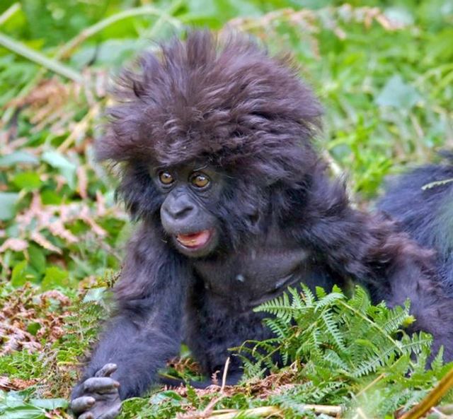 Baby Gorilla shocks