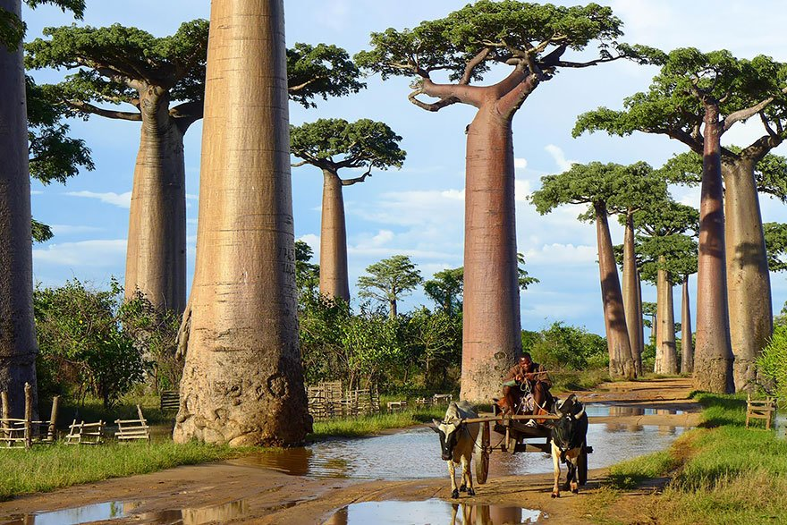 Baobab Trees In Madagascar beautiful tree
