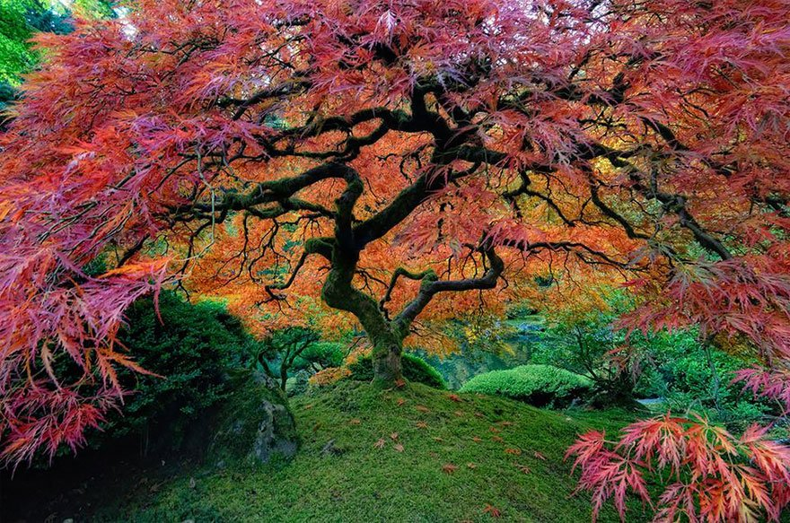 Beautiful Japanese Maple In Portland, Oregon Lovely Trees