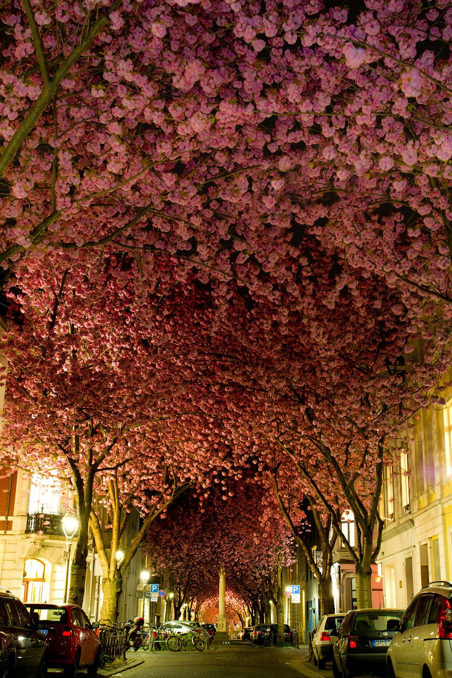 Blooming Cherry Trees in Bonn, Germany Lovely Trees