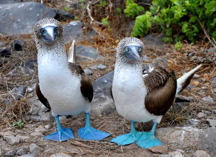 Blue footed booby Rare Animal