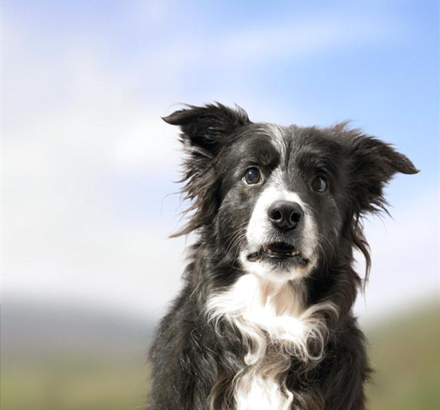 Border Collie Shock