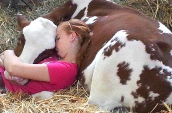 Cow Animal Hugs