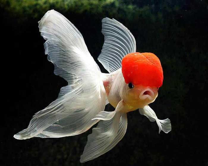 Ed cap goldfish Rare Animal