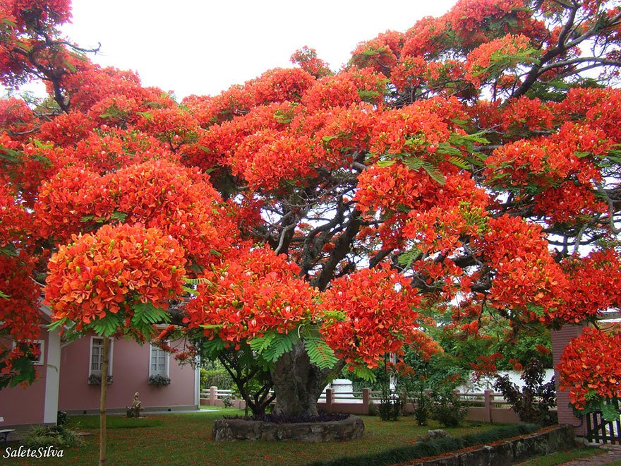 Flamboyant Tree, Brazil Magnificent Trees