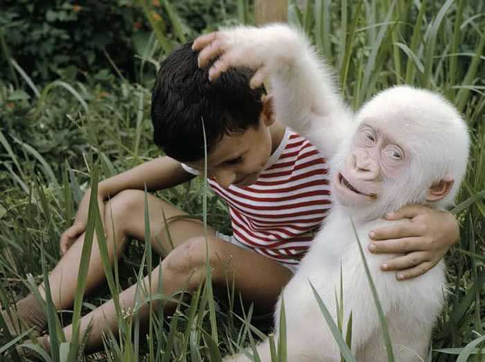 Friendly Albino Gorilla Rare Animal