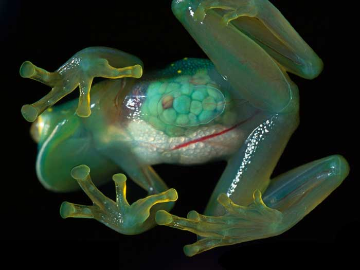 Glass frogs Rare Animals