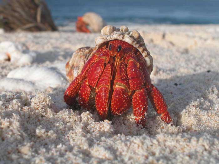 Hermit Crab Rare Animal