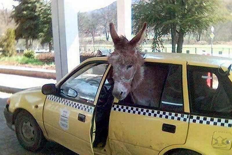 Horse Power Car 19 - Donkey in Car