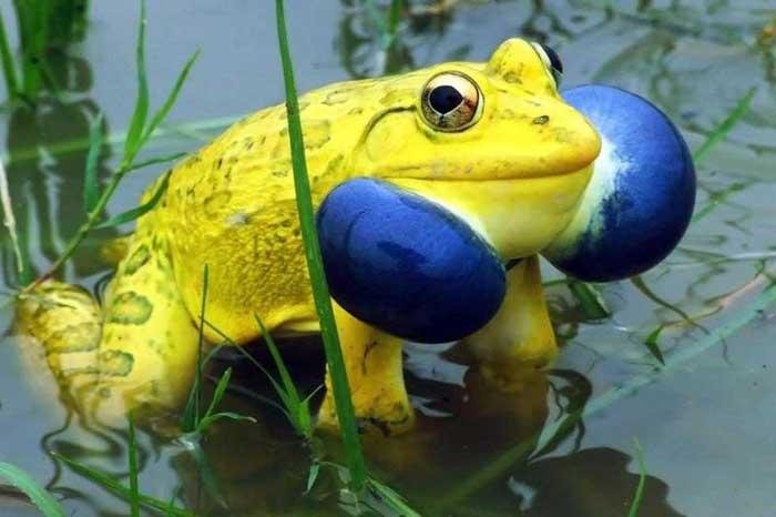 Indian Bull Frog Rare Animal