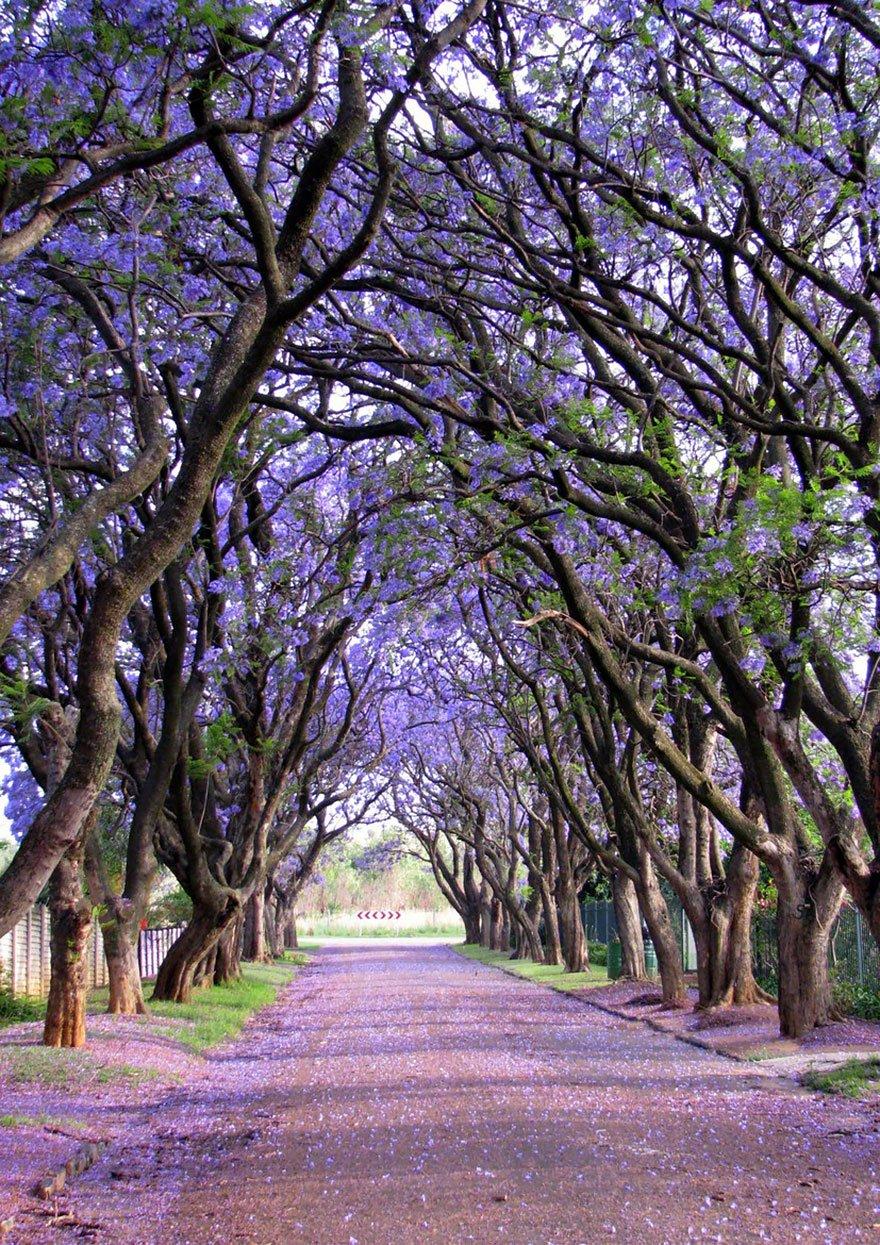 Jacarandas in Cullinan, South Africa beautiful tree