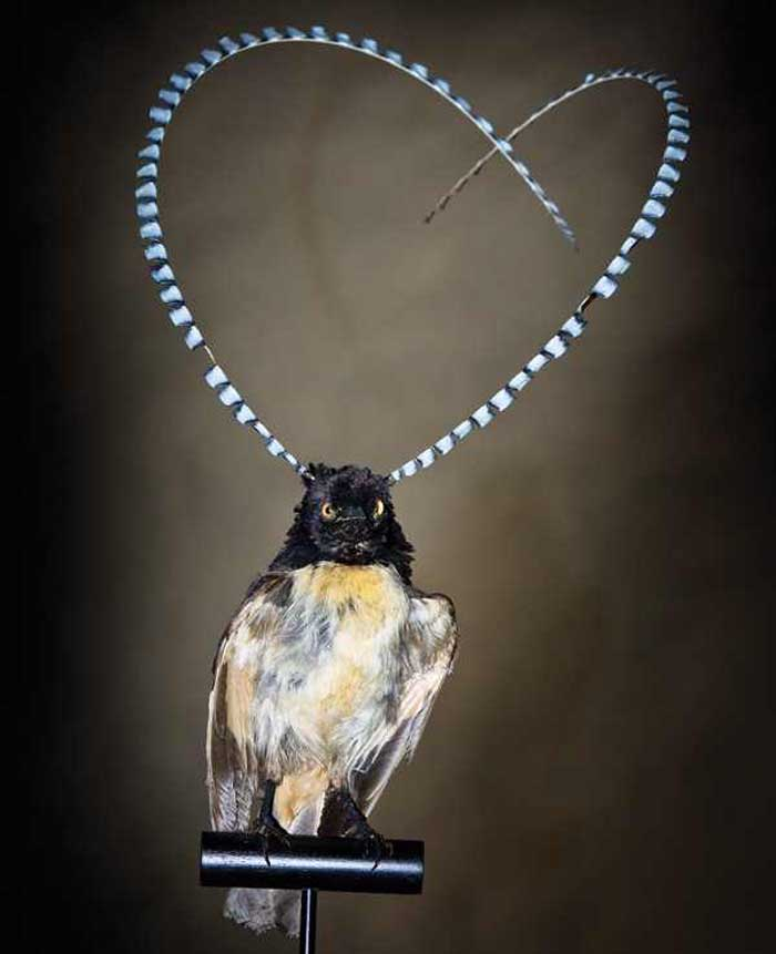 King of Saxony bird of paradise Rare Animal