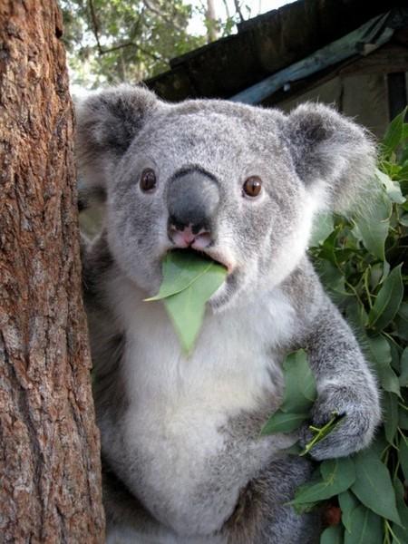 Koala Shocks