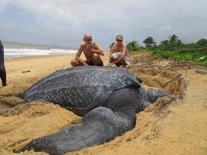 Leatherback Sea Turtle Rare Animal