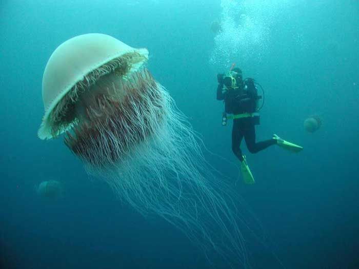 Lion's Mane Jellyfish Rare Animal