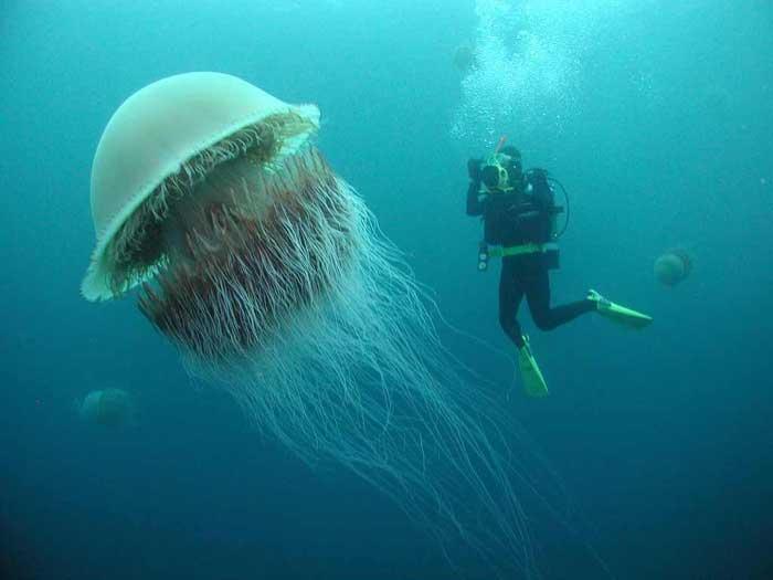 Lion's Mane Jellyfish Rare Animal