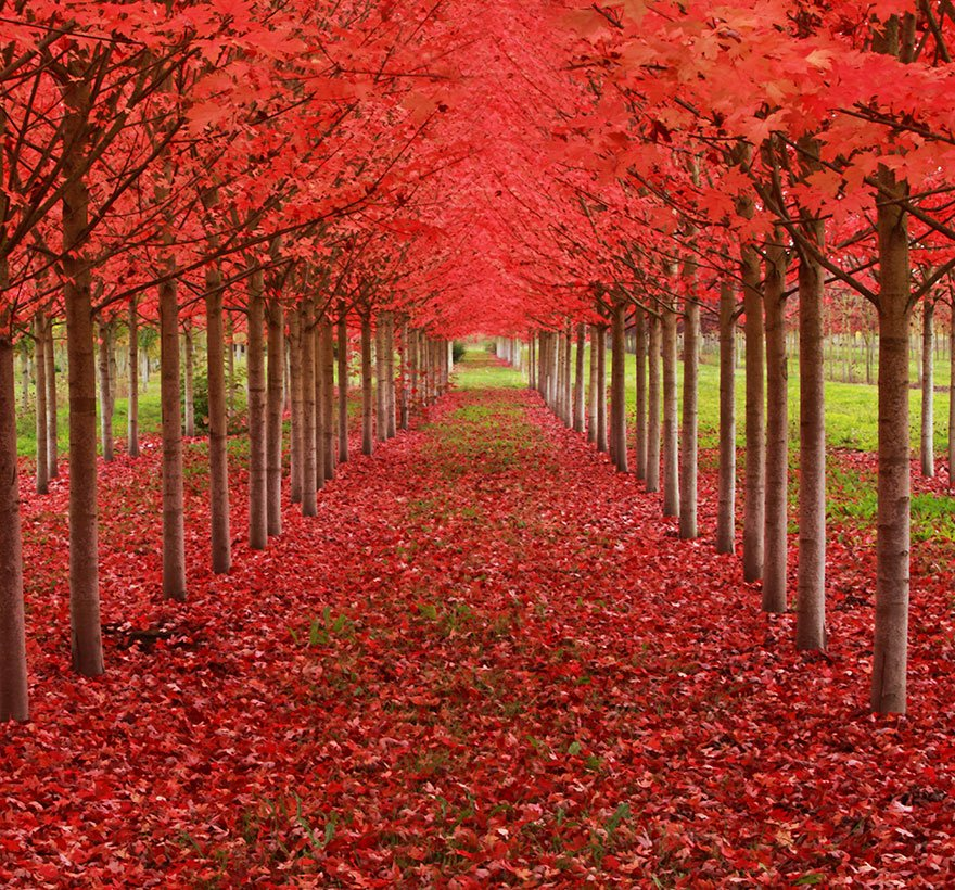 Maple Tree Tunnel in Oregon Magnificent Trees