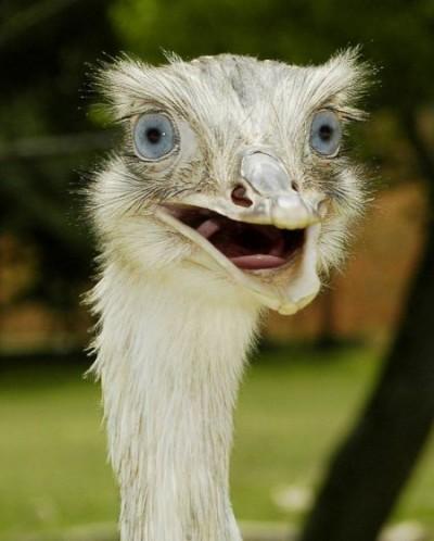 Ostrich Shock