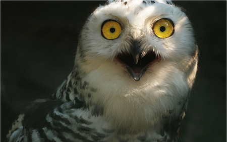 Owl Shock