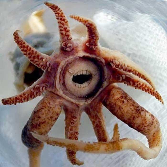 Promachoteuthis sulcus Rare Animals