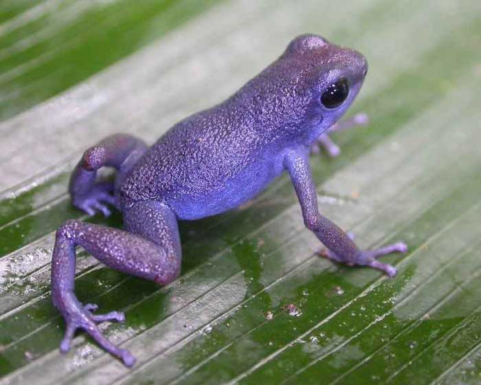 Purple frogs Rare Animals