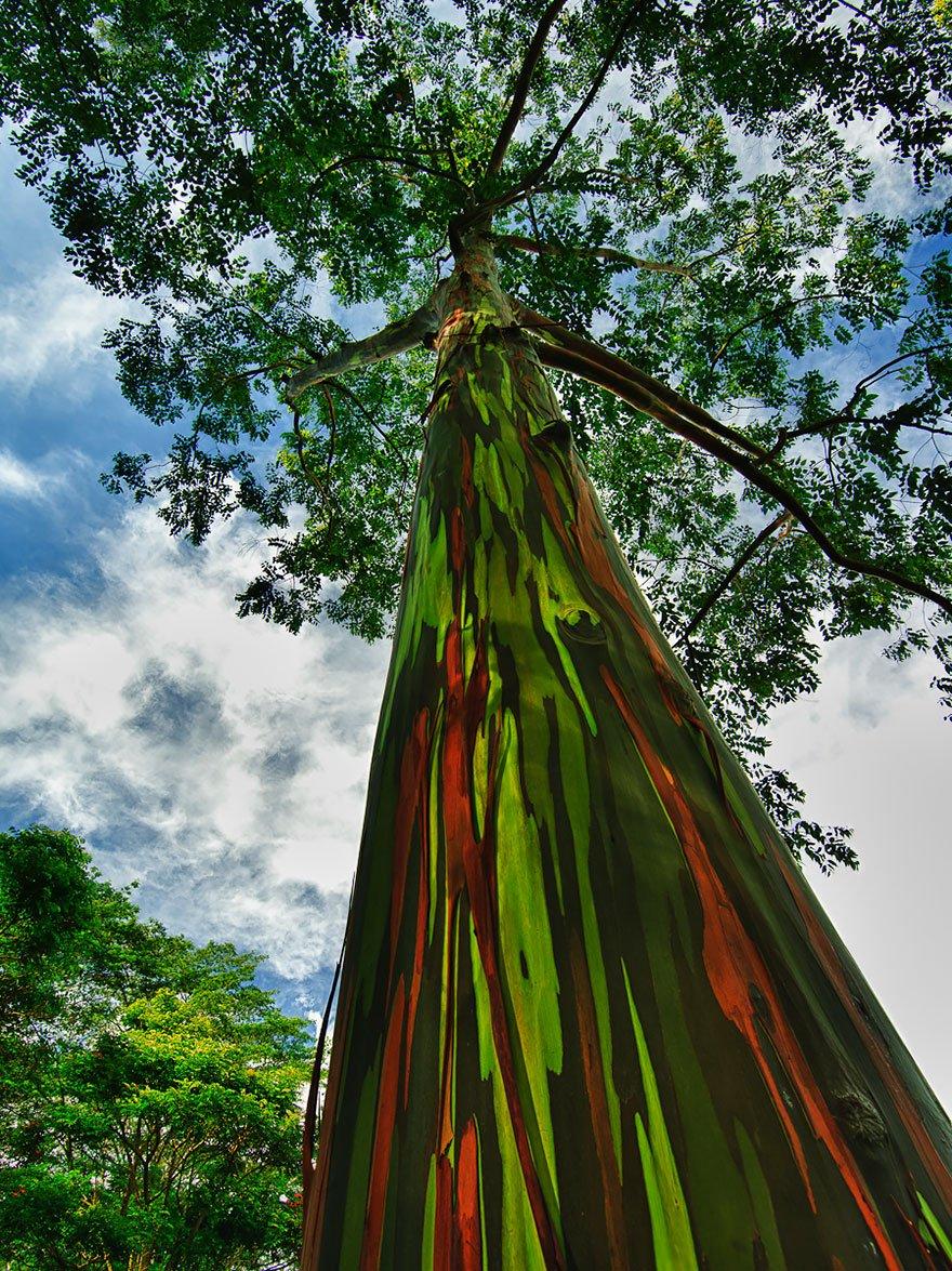 Rainbow Eucalyptus In Kauai, Hawaii Magnificent Trees