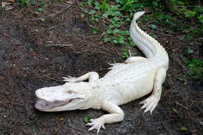 Rare Albino Alligator Rare Animals