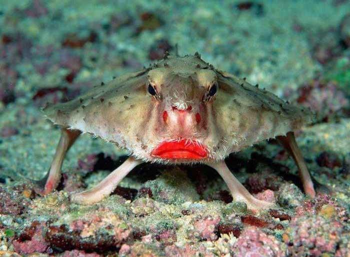Red-Lipped Batfish! Rare Animals