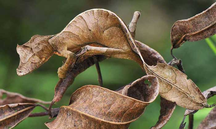 Satanic Leaf Tailed Gecko Rare Animals