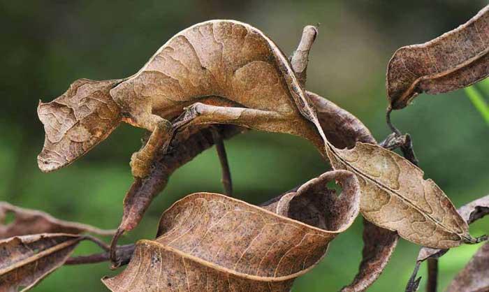 Satanic Leaf Tailed Gecko Rare Animals