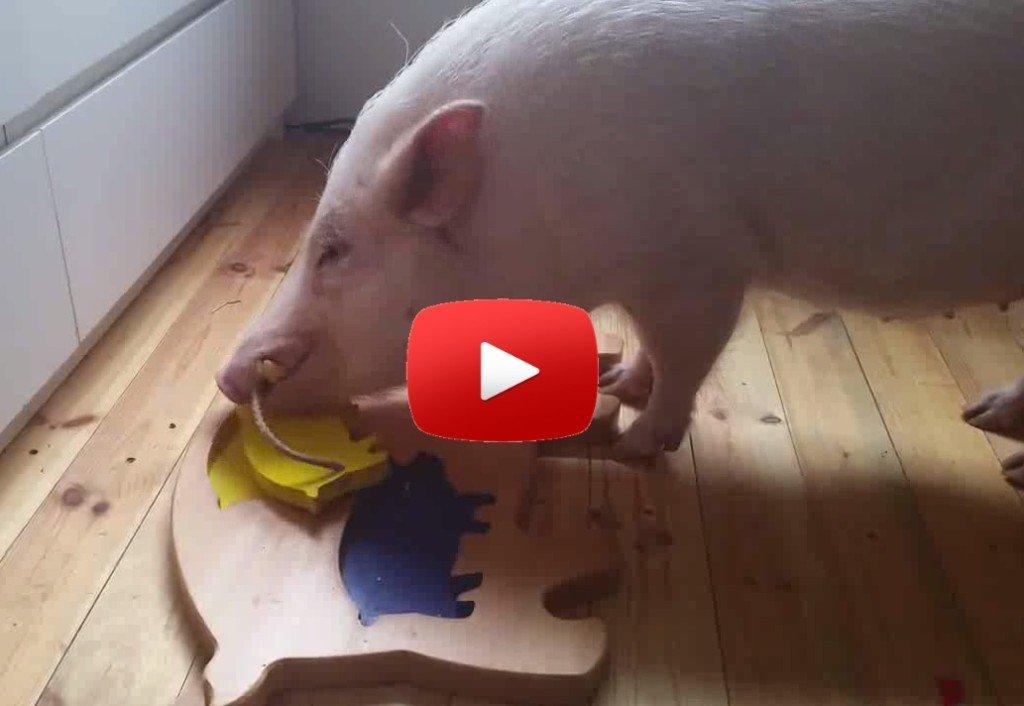 Smart Pig Video